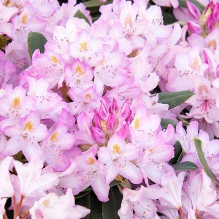 Pink-Rosebay-Rhododendron-v2