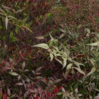 Plum Passion® Heavenly Bamboo