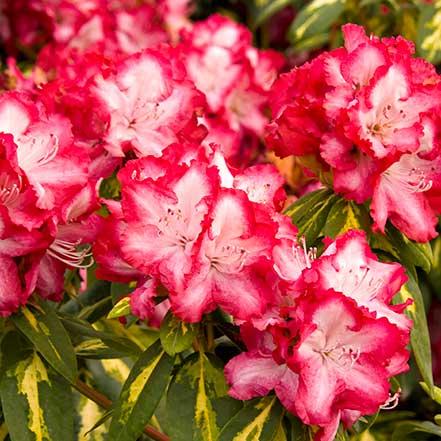 President-Roosevelt-Rhododendron