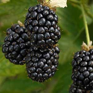 Prime-Ark-Freedom-Thornless-Blackberry_300