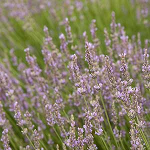 Provence-French-Lavender