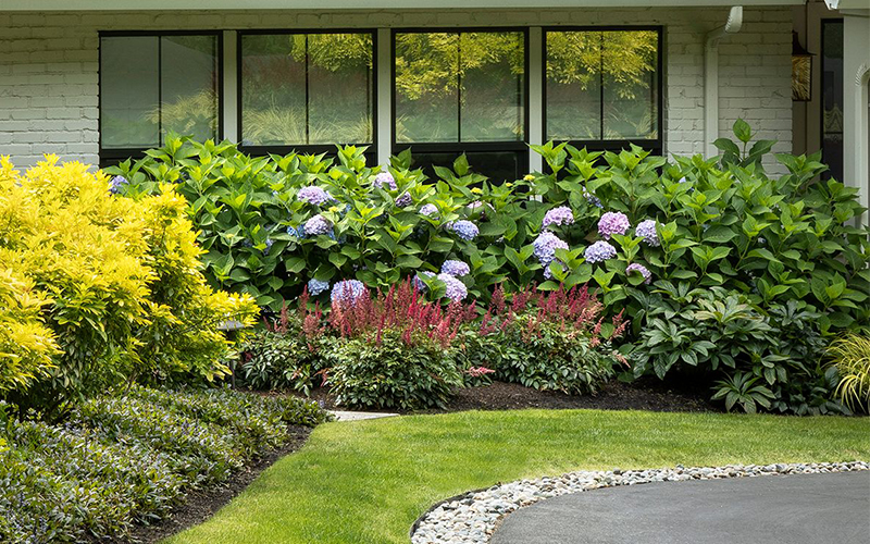 layers with blue hydrangeas and shrubs in front of house window