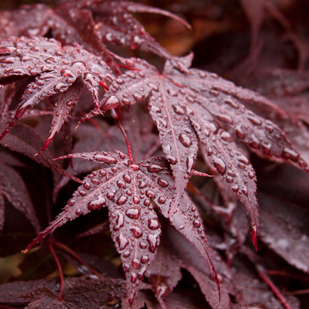 Red-Leaf-Japanese-Maple