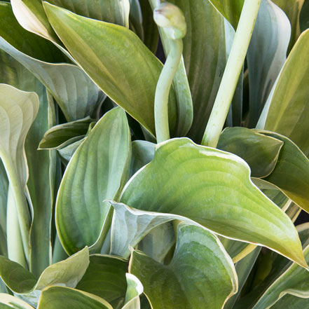 Regal-Splendor-Hosta