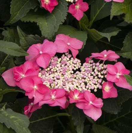 Seaside Serenade® Cape May Hydrangea