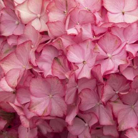Seaside Serenade® Hamptons Hydrangea