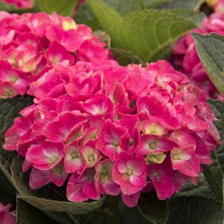 Seaside Serenade® Martha's Vineyard Hydrangea