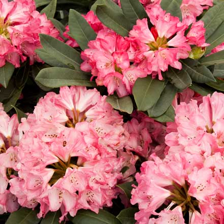 Sneezy-Rhododendron