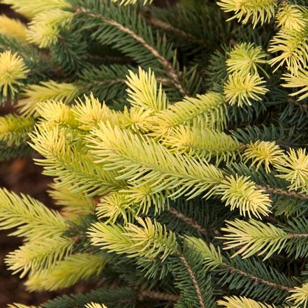 Sparkler® Colorado Blue Spruce