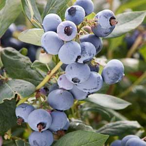 Sunshine-Blue-Blueberry_300