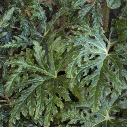 Tectonic™ Eruption Begonia