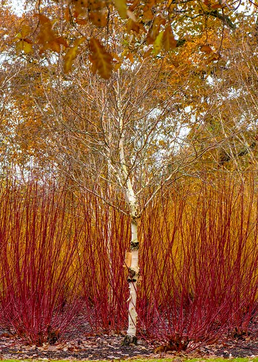 Vibrant-Winter-Garden_Birch-and-Red-Twig-Dogwood_GettyImages-1189768287_517