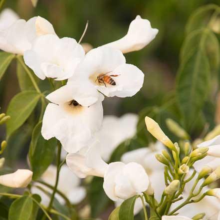 White-Bower-Vine_441