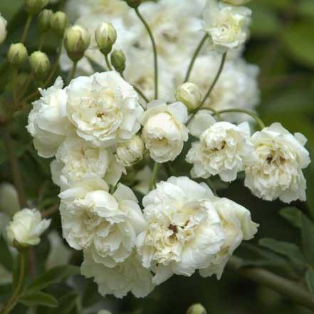 White-Lady-Banks-Climbing-Rose_441