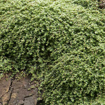 Woolly-Thyme_441