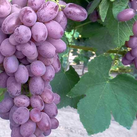 Zestful_-Lollipop-Grape_441