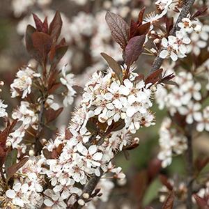 Darkstar Purple Leaf Sand Cherry