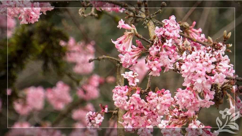 Early-Spring Shrubs for Bliss and Beauty