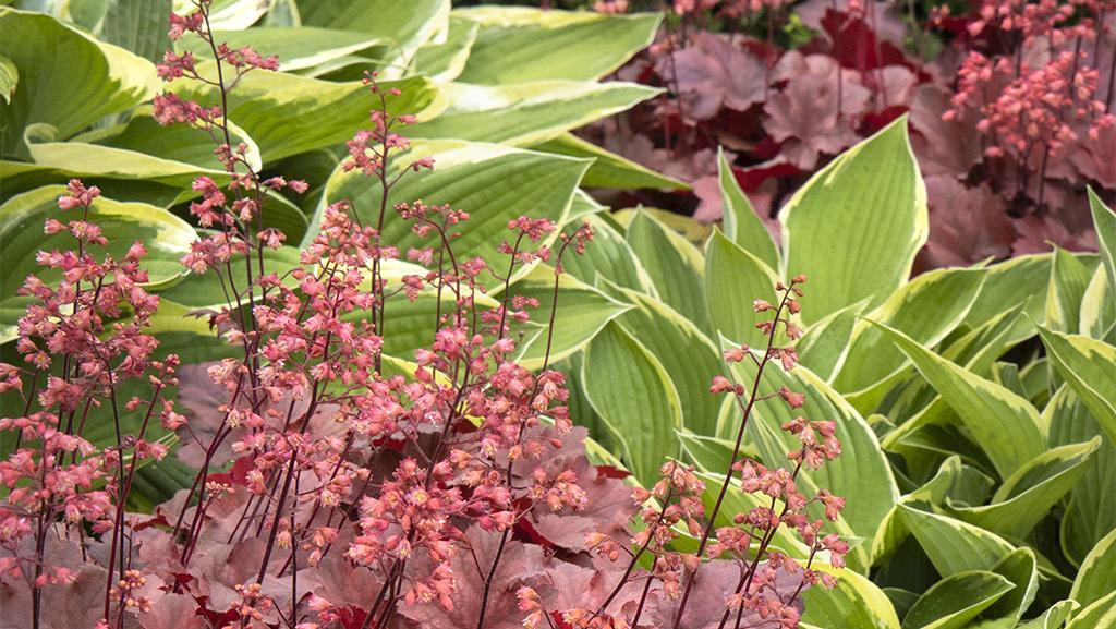 rede cherry cola heuchera and hostas in shade garden