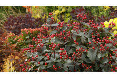 FloralBerry St Johns Wort with red berries growing in autumn landscape