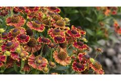 fall-blooming red and gold helenium flowers