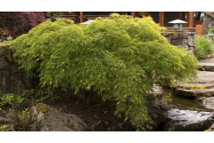 green waterfall japanese maple next to a waterfall water feature