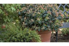 7 Shrubs for Fall-into-Winter Containers