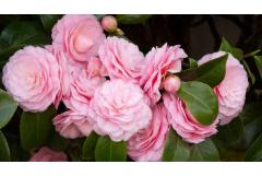 Six Ways to Design with Camellias in Your Garden