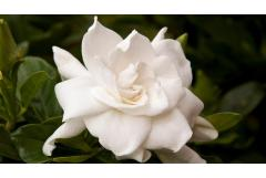 3 Gardenias to Add Romance to the Garden