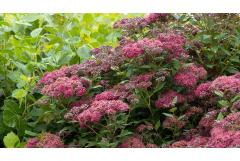 How to Grow, Care For and Design With Spirea Shrubs in Your Garden