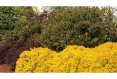 Growing Gold: Light up your landscape with yellow trees and shrubs