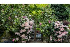 How to Grow Rhododendron Shrubs in the Garden