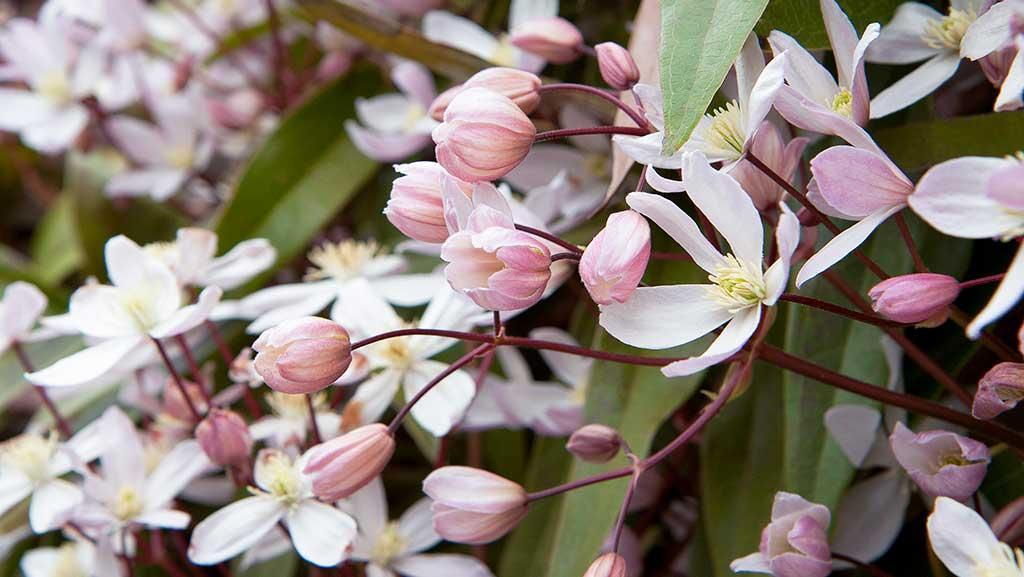 white and pink clematis