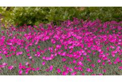 How to Grow Perennial Dianthus in the Garden
