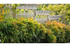 gulf stream heavenly bamboo nandina in front of a fence