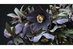 Grow Hellebores, the Happy Harbingers of Spring