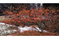 6 Shrubs That Look Great in January (Z: 3 - 7)