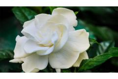 "All About ""Grafted"" Gardenias"