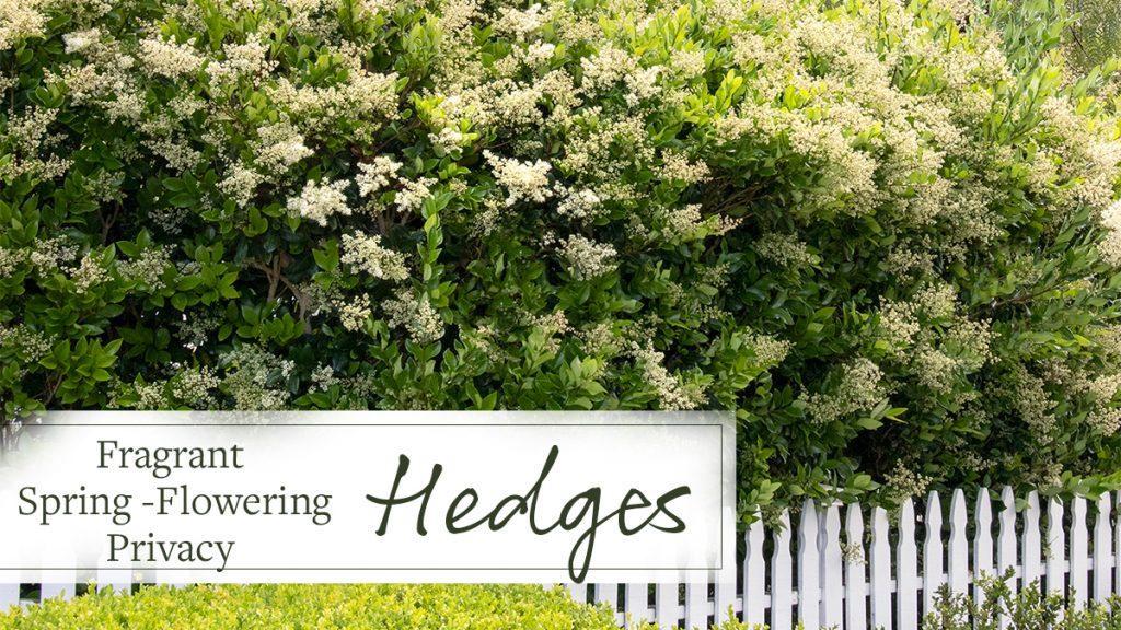 Fragrant Spring-Flowering Privacy Hedges