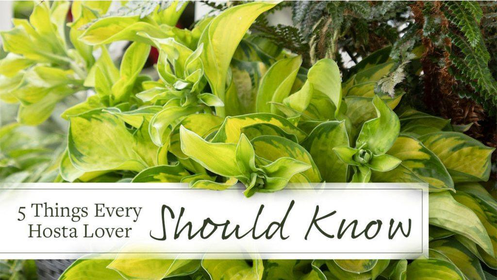 5 Things Every Hosta Lover Should Know
