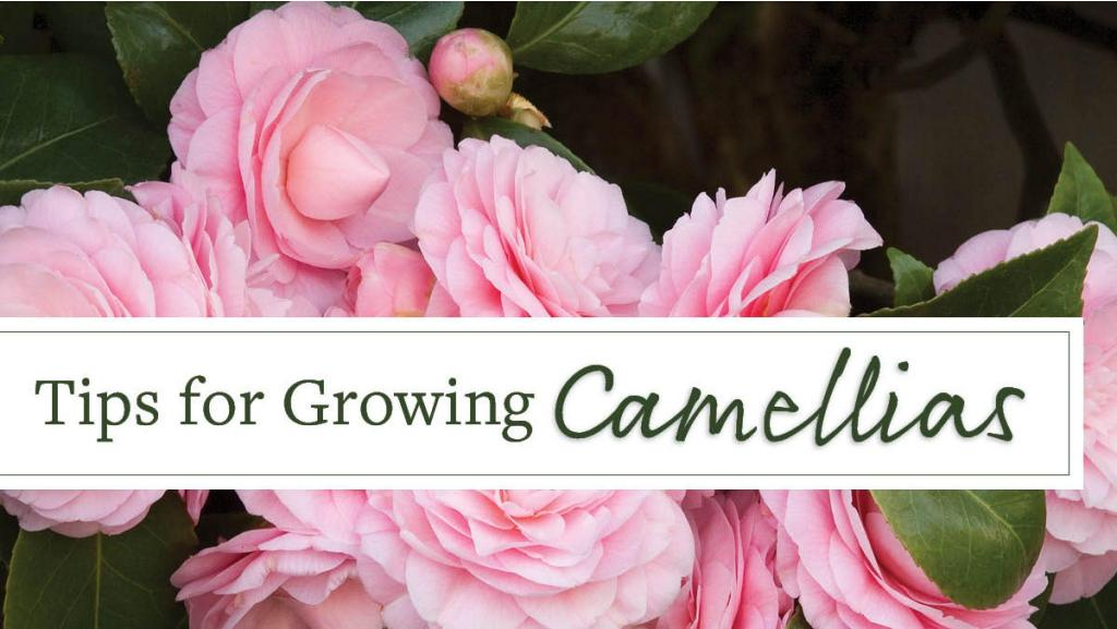 Tips for Growing Camellias