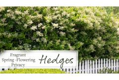 Fragrant Spring-Flowering Privacy Hedges