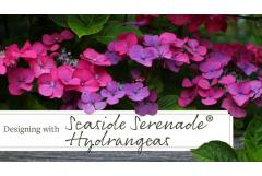Design School: 3 Ways with Seaside Serenade Hydrangeas