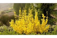 5 Great Early Blooming Shrubs (Midwest)