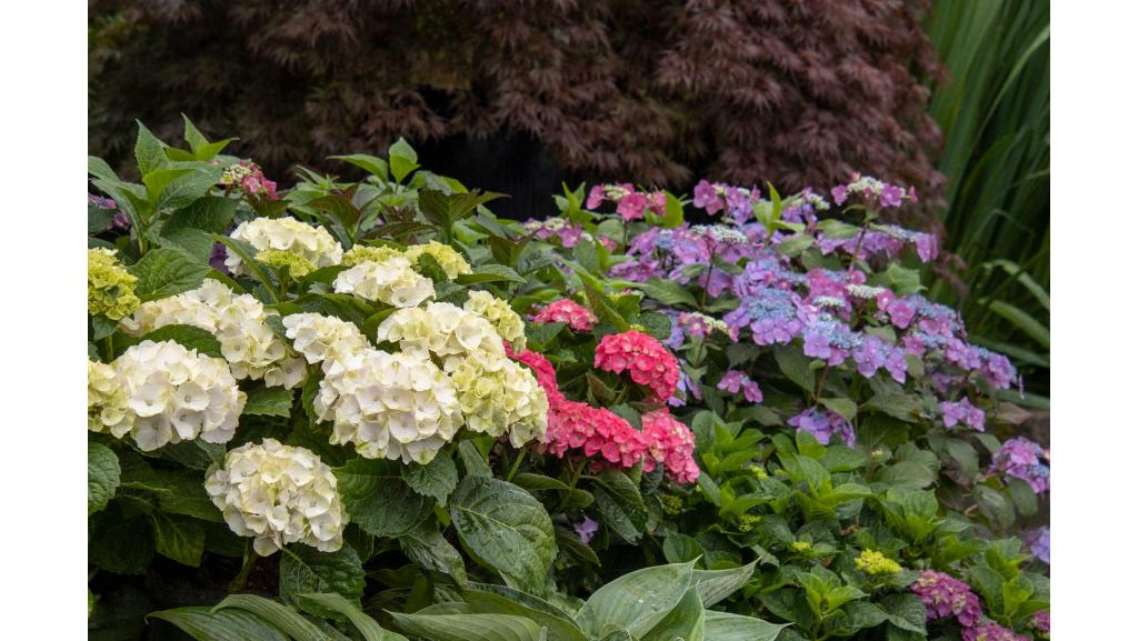 How to Select the Right Hydrangea for Your Garden