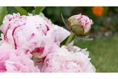 12 Things Peony-Lovers Should Know