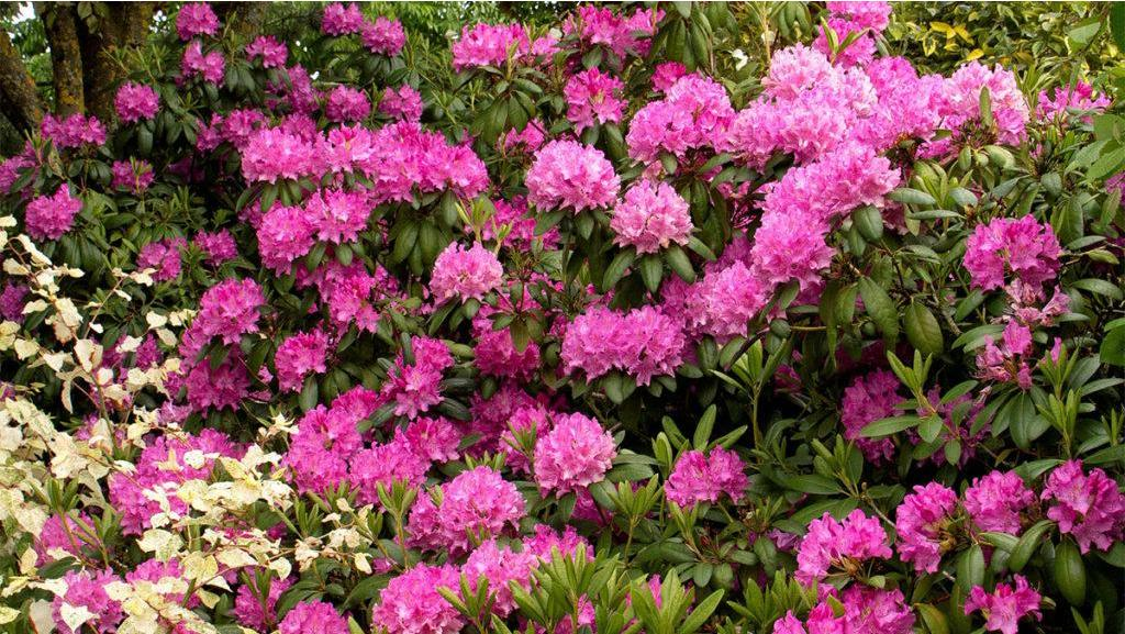 In Season: Rhododendron