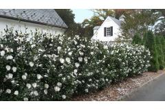 "Anatomy Lesson: Planting a Flowering Hedge for the ""Shoulder Season"""