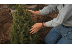How to Repot an Alberta Spruce to a Bigger Container