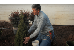 How to Fertilize a Dwarf Alberta Spruce